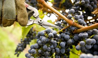 Harvesting grapes at Wild Dog Winery, Warragul
