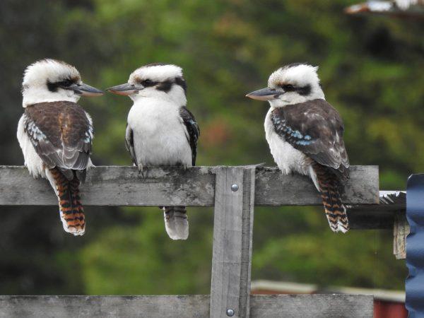 Kookaburras - Andrea Bolton