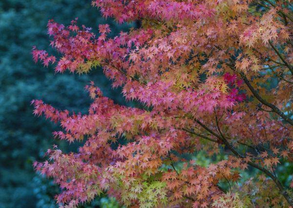 Japanese-Maple-Leaves-Walhalla-VIC.jpg