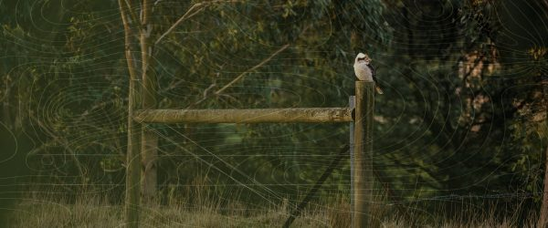 kookaburra-on-straining-posts-1920X800